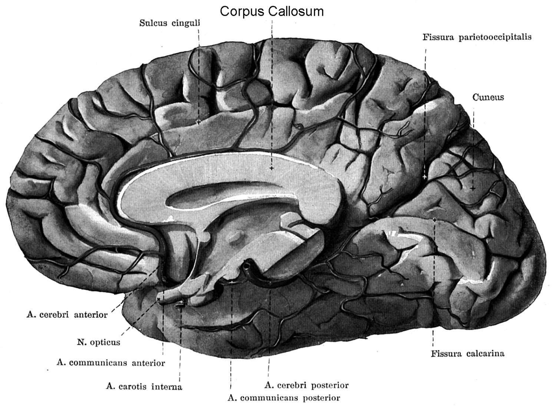 fornix hersenen
