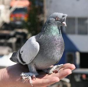 Güvercin önceki sonraki