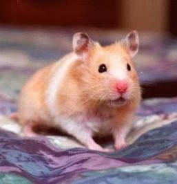hamster 2367 Hamsterların Davranışları Hakkında Geniş Bilgi