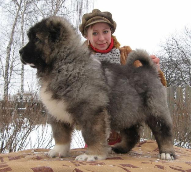 Кавказская и азиатская овчарка.