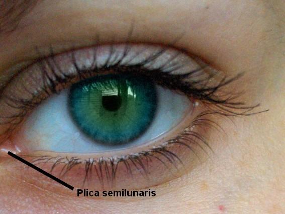 plica semilunaris - 71663 - itü sözlük görseller