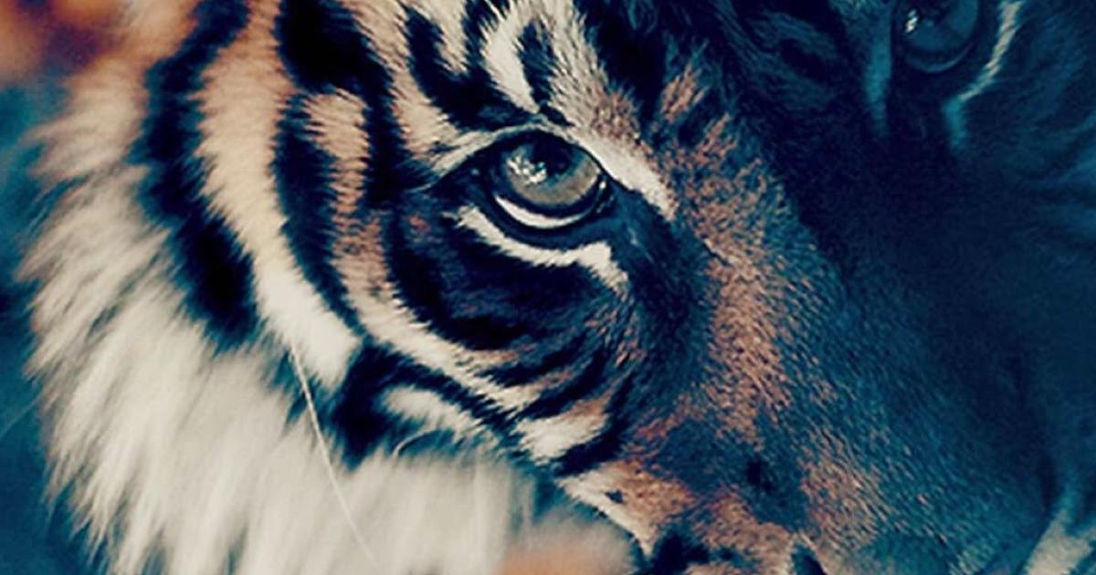 Tiger Face Wallpaper For Iphone images  Hdimagelib